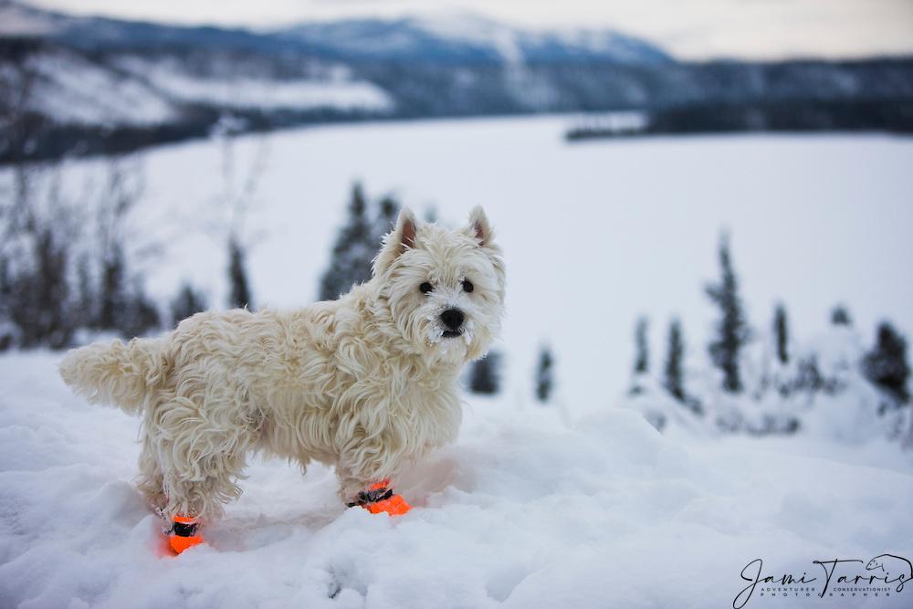 A Westie Terrier In A Winter Landscape Jami Tarris