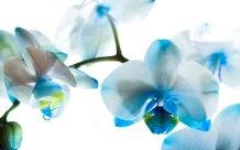 Phalaenopsis (Blue) moth orchid, moth orchid, phalaenopsis, orchid, orchids, cymbidium, south east Melbourne, Melbourne, orchid clubs, orchid societies, OSCOV, orchid photos, orchid care, orchid pictures, orchid images, orchid shows, orchid newsletters, orchids on Facebook, orchids of Twitter, Moorabbin, Bentleigh, Brighton, Hampton, Sandringham, Black Rock, Beaumaris, Bayside Council, Bayside district, Kingston, Bayside Melbourne, SE Suburbs, Parkdale, Mordialloc, Carnegie, Cheltenham, McKinnon, Highett, Oakleigh, Clarinda, Heatherton, Clayton, Dingley, Elsternwick, Caulfield, Ormond, Glenhuntley, Murrumbeena,