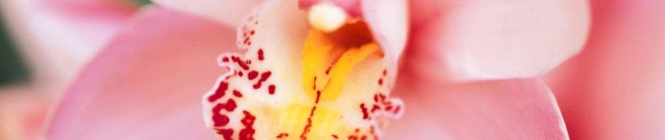 Cymbidium hybrid (Pink), cymbidiums, orchid, orchids, cymbidium, south east Melbourne, Melbourne, orchid clubs, orchid societies, OSCOV, orchid photos, orchid care, orchid pictures, orchid images, orchid shows, orchid newsletters, orchids on Facebook, orchids of Twitter, Moorabbin, Bentleigh, Brighton, Hampton, Sandringham, Black Rock, Beaumaris, Bayside Council, Bayside district, Kingston, Bayside Melbourne, SE Suburbs, Parkdale, Mordialloc, Carnegie, Cheltenham, McKinnon, Highett, Oakleigh, Clarinda, Heatherton, Clayton, Dingley, Elsternwick, Caulfield, Ormond, Glenhuntley, Murrumbeena,