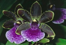 Zygopetalum Issy 'Valerie', zygos, zygopetalums, orchid, orchids, cymbidium, south east Melbourne, Melbourne, orchid clubs, orchid societies, OSCOV, orchid photos, orchid care, orchid pictures, orchid images, orchid shows, orchid newsletters, orchids on Facebook, orchids of Twitter, Moorabbin, Bentleigh, Brighton, Hampton, Sandringham, Black Rock, Beaumaris, Bayside Council, Bayside district, Kingston, Bayside Melbourne, SE Suburbs, Parkdale, Mordialloc, Carnegie, Cheltenham, McKinnon, Highett, Oakleigh, Clarinda, Heatherton, Clayton, Dingley, Elsternwick, Caulfield, Ormond, Glenhuntley, Murrumbeena,