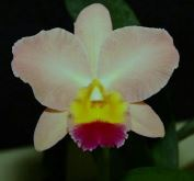Cattleya Dal's Tradition 'Wow', cattleyas, orchid, orchids, cymbidium, south east Melbourne, Melbourne, orchid clubs, orchid societies, OSCOV, orchid photos, orchid care, orchid pictures, orchid images, orchid shows, orchid newsletters, orchids on Facebook, orchids of Twitter, Moorabbin, Bentleigh, Brighton, Hampton, Sandringham, Black Rock, Beaumaris, Bayside Council, Bayside district, Kingston, Bayside Melbourne, SE Suburbs, Parkdale, Mordialloc, Carnegie, Cheltenham, McKinnon, Highett, Oakleigh, Clarinda, Heatherton, Clayton, Dingley, Elsternwick, Caulfield, Ormond, Glenhuntley, Murrumbeena,