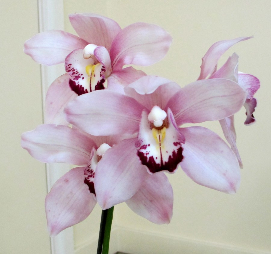 Cymbidium hybrid unknown, orchid, orchids, cymbidium, south east Melbourne, Melbourne, orchid clubs, orchid societies, OSCOV, orchid photos, orchid care, orchid pictures, orchid images, orchid shows, orchid newsletters, orchids on Facebook, orchids of Twitter, Moorabbin, Bentleigh, Brighton, Hampton, Sandringham, Black Rock, Beaumaris, Bayside Council, Bayside district, Kingston, Bayside Melbourne, SE Suburbs, Parkdale, Mordialloc, Carnegie, Cheltenham, McKinnon, Highett, Oakleigh, Clarinda, Heatherton, Clayton, Dingley, Elsternwick, Caulfield, Ormond, Glenhuntley, Murrumbeena,
