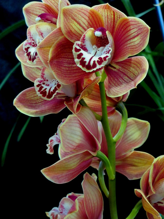 Cymbidium Giants Causeway, orchid, orchids, cymbidium, south east Melbourne, Melbourne, orchid clubs, orchid societies, OSCOV, orchid photos, orchid care, orchid pictures, orchid images, orchid shows, orchid newsletters, orchids on Facebook, orchids of Twitter, Moorabbin, Bentleigh, Brighton, Hampton, Sandringham, Black Rock, Beaumaris, Bayside Council, Bayside district, Kingston, Bayside Melbourne, SE Suburbs, Parkdale, Mordialloc, Carnegie, Cheltenham, McKinnon, Highett, Oakleigh, Clarinda, Heatherton, Clayton, Dingley, Elsternwick, Caulfield, Ormond, Glenhuntley, Murrumbeena,
