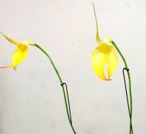 Masdevallia falcata 'Yellow Cake' flag orchid, flag orchid, flag orchids, Masdevallia falcata 'Yellow Cake' masdevallias, orchid, orchids, cymbidium, south east Melbourne, Melbourne, orchid clubs, orchid societies, OSCOV, orchid photos, orchid care, orchid pictures, orchid images, orchid shows, orchid newsletters, orchids on Facebook, orchids of Twitter, Moorabbin, Bentleigh, Brighton, Hampton, Sandringham, Black Rock, Beaumaris, Bayside Council, Bayside district, Kingston, Bayside Melbourne, SE Suburbs, Parkdale, Mordialloc, Carnegie, Cheltenham, McKinnon, Highett, Oakleigh, Clarinda, Heatherton, Clayton, Dingley, Elsternwick, Caulfield, Ormond, Glenhuntley, Murrumbeena,