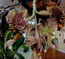 Stanhopea Tigrinia upside-down orchid, upside-down orchids, stanhopeas, orchid, orchids, cymbidium, south east Melbourne, Melbourne, orchid clubs, orchid societies, OSCOV, orchid photos, orchid care, orchid pictures, orchid images, orchid shows, orchid newsletters, orchids on Facebook, orchids of Twitter, Moorabbin, Bentleigh, Brighton, Hampton, Sandringham, Black Rock, Beaumaris, Bayside Council, Bayside district, Kingston, Bayside Melbourne, SE Suburbs, Parkdale, Mordialloc, Carnegie, Cheltenham, McKinnon, Highett, Oakleigh, Clarinda, Heatherton, Clayton, Dingley, Elsternwick, Caulfield, Ormond, Glenhuntley, Murrumbeena,