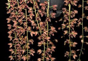 Cymbidium Cricket 'Judith Anne',orchid, orchids, cymbidium, cymbidium kimberly splash, tee pee, south east Melbourne, Melbourne, orchid clubs, orchid societies, OSCOV, orchid photos, orchid care, orchid pictures, orchid images, orchid shows, orchid newsletters, orchids on Facebook, orchids of Twitter, Moorabbin, Bentleigh, Brighton, Hampton, Sandringham, Black Rock, Beaumaris, Bayside Council, Bayside district, Kingston, Bayside Melbourne, SE Suburbs, Parkdale, Mordialloc, Carnegie, Cheltenham, McKinnon, Highett, Oakleigh, Clarinda, Heatherton, Clayton, Dingley, Elsternwick, Caulfield, Ormond, Glenhuntley, Murrumbeena,