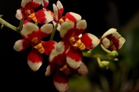 Sarcochilus velvet x snowhart Champion Sarcochilus Velvet x Snowhart Champion Australian Native Hybrid SSOS Autumn Show 2018, orchids, cymbidium, cymbidium kimberly splash, tee pee, south east Melbourne, Melbourne, orchid clubs, orchid societies, OSCOV, orchid photos, orchid care, orchid pictures, orchid images, orchid shows, orchid newsletters, orchids on Facebook, orchids of Twitter, Moorabbin, Bentleigh, Brighton, Hampton, Sandringham, Black Rock, Beaumaris, Bayside Council, Bayside district, Kingston, Bayside Melbourne, SE Suburbs, Parkdale, Mordialloc, Carnegie, Cheltenham, McKinnon, Highett, Oakleigh, Clarinda, Heatherton, Clayton, Dingley, Elsternwick, Caulfield, Ormond, Glenhuntley, Murrumbeena,