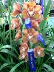 Devon Meadows Orchids Cymbidium Pink Splendour x Flaming Magic, OSCOV Show, Melbourne Orchid Spectacular, orchids, cymbidium, cymbidium kimberly splash, tee pee, south east Melbourne, Melbourne, orchid clubs, orchid societies, OSCOV, orchid photos, orchid care, orchid pictures, orchid images, orchid shows, orchid newsletters, orchids on Facebook, orchids of Twitter, Moorabbin, Bentleigh, Brighton, Hampton, Sandringham, Black Rock, Beaumaris, Bayside Council, Bayside district, Kingston, Bayside Melbourne, SE Suburbs, Parkdale, Mordialloc, Carnegie, Cheltenham, McKinnon, Highett, Oakleigh, Clarinda, Heatherton, Clayton, Dingley, Elsternwick, Caulfield, Ormond, Glenhuntley, Murrumbeena