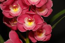Cymbidium Templestowe's Charm 'Aidan', orchids, cymbidium, cymbidium kimberly splash, tee pee, south east Melbourne, Melbourne, orchid clubs, orchid societies, OSCOV, orchid photos, orchid care, orchid pictures, orchid images, orchid shows, orchid newsletters, orchids on Facebook, orchids of Twitter, Moorabbin, Bentleigh, Brighton, Hampton, Sandringham, Black Rock, Beaumaris, Bayside Council, Bayside district, Kingston, Bayside Melbourne, SE Suburbs, Parkdale, Mordialloc, Carnegie, Cheltenham, McKinnon, Highett, Oakleigh, Clarinda, Heatherton, Clayton, Dingley, Elsternwick, Caulfield, Ormond, Glenhuntley, Murrumbeena,