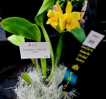 Cattleya BLC Golden Shrine H&R1, orchids, cymbidium, cymbidium kimberly splash, tee pee, south east Melbourne, Melbourne, orchid clubs, orchid societies, OSCOV, orchid photos, orchid care, orchid pictures, orchid images, orchid shows, orchid newsletters, orchids on Facebook, orchids of Twitter, Moorabbin, Bentleigh, Brighton, Hampton, Sandringham, Black Rock, Beaumaris, Bayside Council, Bayside district, Kingston, Bayside Melbourne, SE Suburbs, Parkdale, Mordialloc, Carnegie, Cheltenham, McKinnon, Highett, Oakleigh, Clarinda, Heatherton, Clayton, Dingley, Elsternwick, Caulfield, Ormond, Glenhuntley, Murrumbeena,
