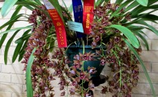 Cymbidium kiata x devonianum, orchids, cymbidium, cymbidium kimberly splash, tee pee, south east Melbourne, Melbourne, orchid clubs, orchid societies, OSCOV, orchid photos, orchid care, orchid pictures, orchid images, orchid shows, orchid newsletters, orchids on Facebook, orchids of Twitter, Moorabbin, Bentleigh, Brighton, Hampton, Sandringham, Black Rock, Beaumaris, Bayside Council, Bayside district, Kingston, Bayside Melbourne, SE Suburbs, Parkdale, Mordialloc, Carnegie, Cheltenham, McKinnon, Highett, Oakleigh, Clarinda, Heatherton, Clayton, Dingley, Elsternwick, Caulfield, Ormond, Glenhuntley, Murrumbeena,