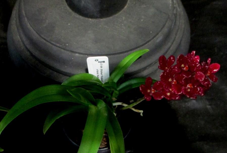 Seedling - Sarcochilus (Fitzhart x Karla), orchids, cymbidium, cymbidium kimberly splash, tee pee, south east Melbourne, Melbourne, orchid clubs, orchid societies, OSCOV, orchid photos, orchid care, orchid pictures, orchid images, orchid shows, orchid newsletters, orchids on Facebook, orchids of Twitter, Moorabbin, Bentleigh, Brighton, Hampton, Sandringham, Black Rock, Beaumaris, Bayside Council, Bayside district, Kingston, Bayside Melbourne, SE Suburbs, Parkdale, Mordialloc, Carnegie, Cheltenham, McKinnon, Highett, Oakleigh, Clarinda, Heatherton, Clayton, Dingley, Elsternwick, Caulfield, Ormond, Glenhuntley, Murrumbeena,