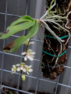 Sarchochilus Madge 'One' x Parma Yellow1, orchids, cymbidium, cymbidium kimberly splash, tee pee, south east Melbourne, Melbourne, orchid clubs, orchid societies, OSCOV, orchid photos, orchid care, orchid pictures, orchid images, orchid shows, orchid newsletters, orchids on Facebook, orchids of Twitter, Moorabbin, Bentleigh, Brighton, Hampton, Sandringham, Black Rock, Beaumaris, Bayside Council, Bayside district, Kingston, Bayside Melbourne, SE Suburbs, Parkdale, Mordialloc, Carnegie, Cheltenham, McKinnon, Highett, Oakleigh, Clarinda, Heatherton, Clayton, Dingley, Elsternwick, Caulfield, Ormond, Glenhuntley, Murrumbeena,