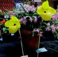 Champion Orchid of the SSOS Spring Show Champion | Paphiopedilum Norito Hasegawa, cymbidium, cymbidium kimberly splash, tee pee, south east Melbourne, Melbourne, orchid clubs, orchid societies, OSCOV, orchid photos, orchid care, orchid pictures, orchid images, orchid shows, orchid newsletters, orchids on Facebook, orchids of Twitter, Moorabbin, Bentleigh, Brighton, Hampton, Sandringham, Black Rock, Beaumaris, Bayside Council, Bayside district, Kingston, Bayside Melbourne, SE Suburbs, Parkdale, Mordialloc, Carnegie, Cheltenham, McKinnon, Highett, Oakleigh, Clarinda, Heatherton, Clayton, Dingley, Elsternwick, Caulfield, Ormond, Glenhuntley, Murrumbeena,
