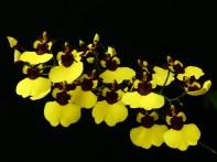 Gomesa (Moon Shadow x varicosum 'Baldins') [Grower: C Trainor], cymbidium, cymbidium kimberly splash, tee pee, south east Melbourne, Melbourne, orchid clubs, orchid societies, OSCOV, orchid photos, orchid care, orchid pictures, orchid images, orchid shows, orchid newsletters, orchids on Facebook, orchids of Twitter, Moorabbin, Bentleigh, Brighton, Hampton, Sandringham, Black Rock, Beaumaris, Bayside Council, Bayside district, Kingston, Bayside Melbourne, SE Suburbs, Parkdale, Mordialloc, Carnegie, Cheltenham, McKinnon, Highett, Oakleigh, Clarinda, Heatherton, Clayton, Dingley, Elsternwick, Caulfield, Ormond, Glenhuntley, Murrumbeena,