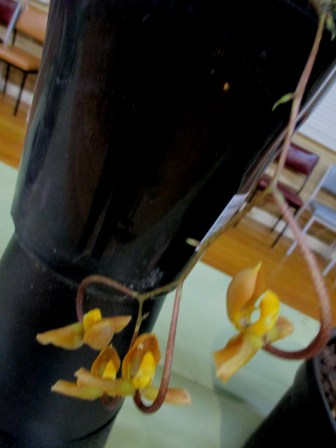 Gongora galeata (exhibited March 2020, cymbidium, cymbidium kimberly splash, tee pee, south east Melbourne, Melbourne, orchid clubs, orchid societies, OSCOV, orchid photos, orchid care, orchid pictures, orchid images, orchid shows, orchid newsletters, orchids on Facebook, orchids of Twitter, Moorabbin, Bentleigh, Brighton, Hampton, Sandringham, Black Rock, Beaumaris, Bayside Council, Bayside district, Kingston, Bayside Melbourne, SE Suburbs, Parkdale, Mordialloc, Carnegie, Cheltenham, McKinnon, Highett, Oakleigh, Clarinda, Heatherton, Clayton, Dingley, Elsternwick, Caulfield, Ormond, Glenhuntley, Murrumbeena,