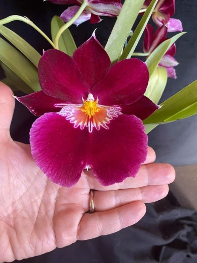 Miltoniopsis Hamburg x Herman Sweet 'Bonfire', south east Melbourne, Melbourne, orchid clubs, orchid societies, OSCOV, orchid photos, orchid care, orchid pictures, orchid images, orchid shows, orchid newsletters, orchids on Facebook, orchids of Twitter, Moorabbin, Bentleigh, Brighton, Hampton, Sandringham, Black Rock, Beaumaris, Bayside Council, Bayside district, Kingston, Bayside Melbourne, SE Suburbs, Parkdale, Mordialloc, Carnegie, Cheltenham, McKinnon, Highett, Oakleigh, Clarinda, Heatherton, Clayton, Dingley, Elsternwick, Caulfield, Ormond, Glenhuntley, Murrumbeena,