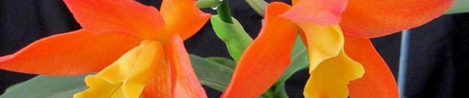Cattleya Chocolate Treats 'Orange Glow', south east Melbourne, Melbourne, orchid clubs, orchid societies, OSCOV, orchid photos, orchid care, orchid pictures, orchid images, orchid shows, orchid newsletters, orchids on Facebook, orchids of Twitter, Moorabbin, Bentleigh, Brighton, Hampton, Sandringham, Black Rock, Beaumaris, Bayside Council, Bayside district, Kingston, Bayside Melbourne, SE Suburbs, Parkdale, Mordialloc, Carnegie, Cheltenham, McKinnon, Highett, Oakleigh, Clarinda, Heatherton, Clayton, Dingley, Elsternwick, Caulfield, Ormond, Glenhuntley, Murrumbeena,