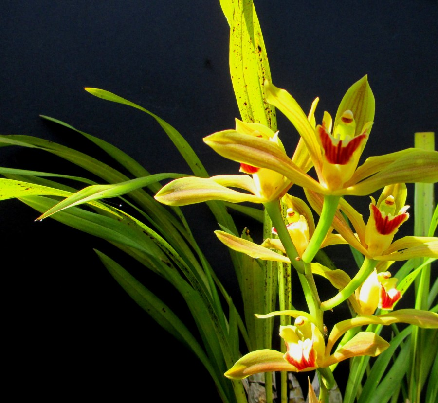 Cymbidium lowianum, south east Melbourne, Melbourne, orchid clubs, orchid societies, OSCOV, orchid photos, orchid care, orchid pictures, orchid images, orchid shows, orchid newsletters, orchids on Facebook, orchids of Twitter, Moorabbin, Bentleigh, Brighton, Hampton, Sandringham, Black Rock, Beaumaris, Bayside Council, Bayside district, Kingston, Bayside Melbourne, SE Suburbs, Parkdale, Mordialloc, Carnegie, Cheltenham, McKinnon, Highett, Oakleigh, Clarinda, Heatherton, Clayton, Dingley, Elsternwick, Caulfield, Ormond, Glenhuntley, Murrumbeena,