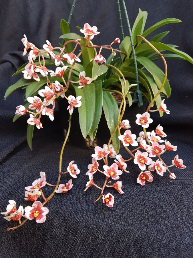 Sarc Hartmanii Triple Red x Fitzart Bonza, south east Melbourne, Melbourne, orchid clubs, orchid societies, OSCOV, orchid photos, orchid care, orchid pictures, orchid images, orchid shows, orchid newsletters, orchids on Facebook, orchids of Twitter, Moorabbin, Bentleigh, Brighton, Hampton, Sandringham, Black Rock, Beaumaris, Bayside Council, Bayside district, Kingston, Bayside Melbourne, SE Suburbs, Parkdale, Mordialloc, Carnegie, Cheltenham, McKinnon, Highett, Oakleigh, Clarinda, Heatherton, Clayton, Dingley, Elsternwick, Caulfield, Ormond, Glenhuntley, Murrumbeena,