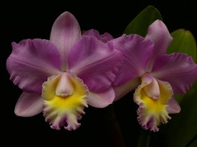 Cattleya (Erin Kobayashi x walkeriana) 'Plush' south east Melbourne, Melbourne, orchid clubs, orchid societies, OSCOV, orchid photos, orchid care, orchid pictures, orchid images, orchid shows, orchid newsletters, orchids on Facebook, orchids of Twitter, Moorabbin, Bentleigh, Brighton, Hampton, Sandringham, Black Rock, Beaumaris, Bayside Council, Bayside district, Kingston, Bayside Melbourne, SE Suburbs, Parkdale, Mordialloc, Carnegie, Cheltenham, McKinnon, Highett, Oakleigh, Clarinda, Heatherton, Clayton, Dingley, Elsternwick, Caulfield, Ormond, Glenhuntley, Murrumbeena,