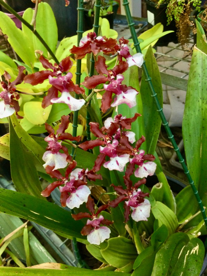 Oncidium Sharry Baby 'Sweet Fragrance', south east Melbourne, Melbourne, orchid clubs, orchid societies, OSCOV, orchid photos, orchid care, orchid pictures, orchid images, orchid shows, orchid newsletters, orchids on Facebook, orchids of Twitter, Moorabbin, Bentleigh, Brighton, Hampton, Sandringham, Black Rock, Beaumaris, Bayside Council, Bayside district, Kingston, Bayside Melbourne, SE Suburbs, Parkdale, Mordialloc, Carnegie, Cheltenham, McKinnon, Highett, Oakleigh, Clarinda, Heatherton, Clayton, Dingley, Elsternwick, Caulfield, Ormond, Glenhuntley, Murrumbeena,