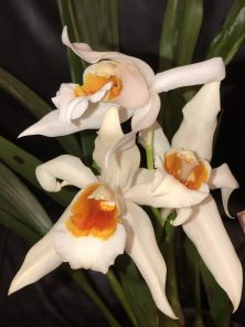Coelogyne Mem. William Micholitz 'Burnham', South east Melbourne, Melbourne, orchid clubs, orchid societies, OSCOV, orchid photos, orchid care, orchid pictures, orchid images, orchid shows, orchid newsletters, orchids on Facebook, orchids of Twitter, Moorabbin, Bentleigh, Brighton, Hampton, Sandringham, Black Rock, Beaumaris, Bayside Council, Bayside district, Kingston, Bayside Melbourne, SE Suburbs, Parkdale, Mordialloc, Carnegie, Cheltenham, McKinnon, Highett, Oakleigh, Clarinda, Heatherton, Clayton, Dingley, Elsternwick, Caulfield, Ormond, Glenhuntley, Murrumbeena,
