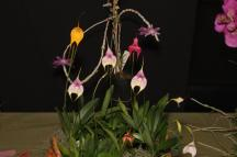 Masd hybrids - Sovereign Pink, south east Melbourne, Melbourne, orchid clubs, orchid societies, OSCOV, orchid photos, orchid care, orchid pictures, orchid images, orchid shows, orchid newsletters, orchids on Facebook, orchids of Twitter, Moorabbin, Bentleigh, Brighton, Hampton, Sandringham, Black Rock, Beaumaris, Bayside Council, Bayside district, Kingston, Bayside Melbourne, SE Suburbs, Parkdale, Mordialloc, Carnegie, Cheltenham, McKinnon, Highett, Oakleigh, Clarinda, Heatherton, Clayton, Dingley, Elsternwick, Caulfield, Ormond, Glenhuntley, Murrumbeena,