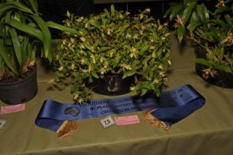 Champion Specimen Orchid Coelogyne fimbriata 'yellow' Open section Class Species - H Aberl