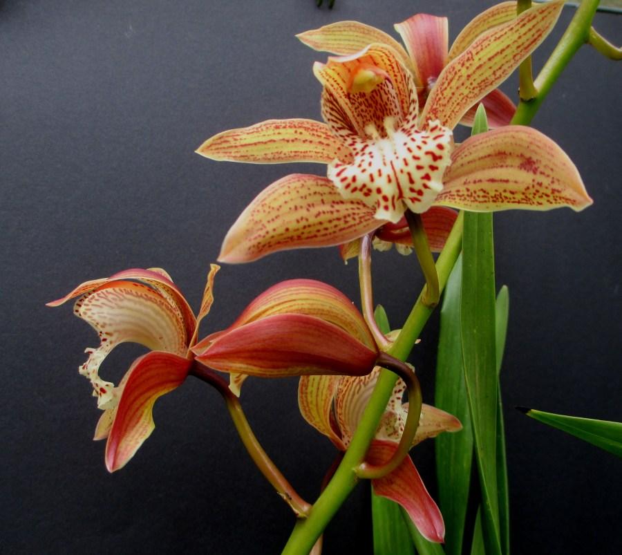 Cymbidium Tracyanum 'Doris'