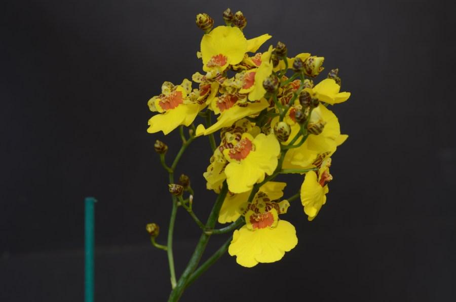 Oncidium hybrid Goldiana