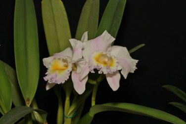 Rlc California Girl 'Orchid Library' (Open)