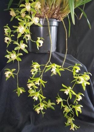 Cym hookerianum