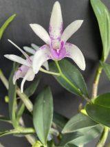 Dendrobium Hamilton 'Vicki' HCC x Rosie Cheeks 'Julia'