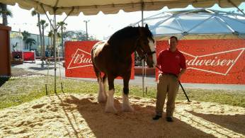 One of the Budweiser Clydesdales.