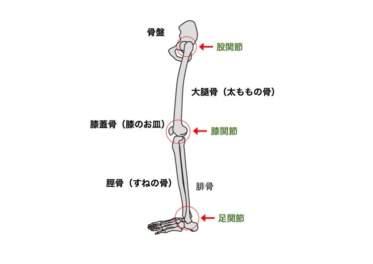 下肢の解剖
