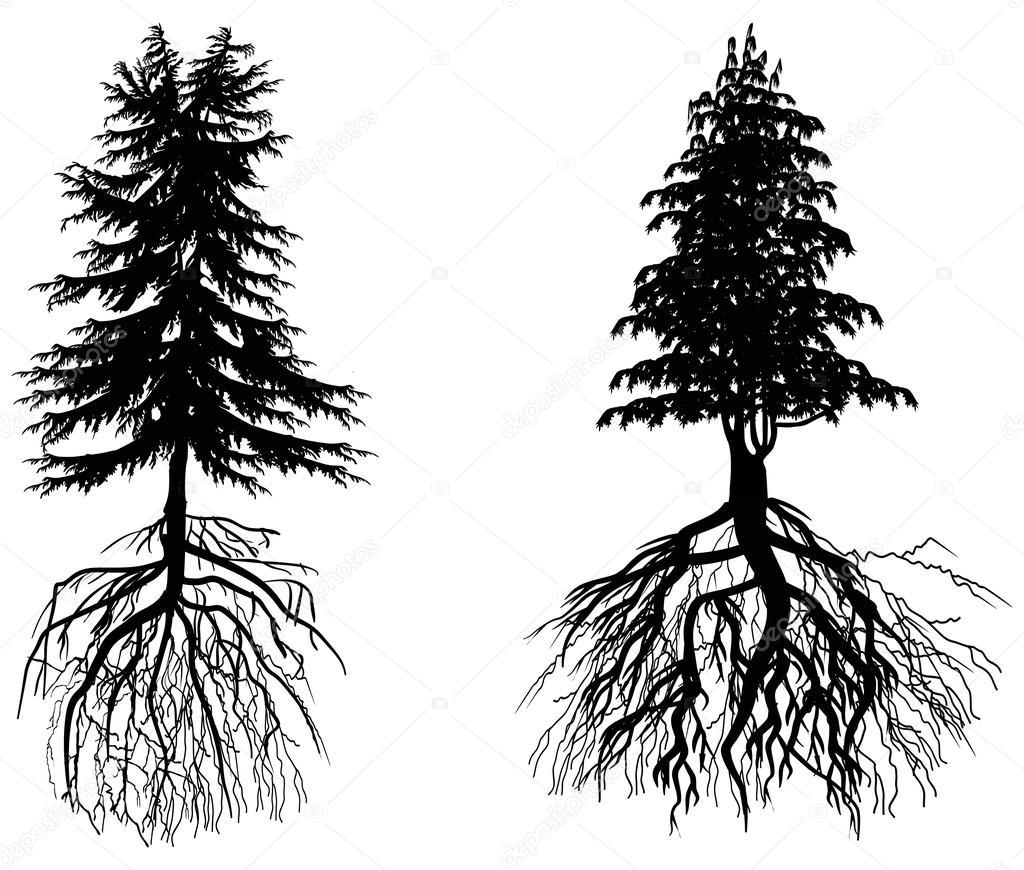 Zwei Tannen Mit Wurzeln Isoliert Auf Weiss