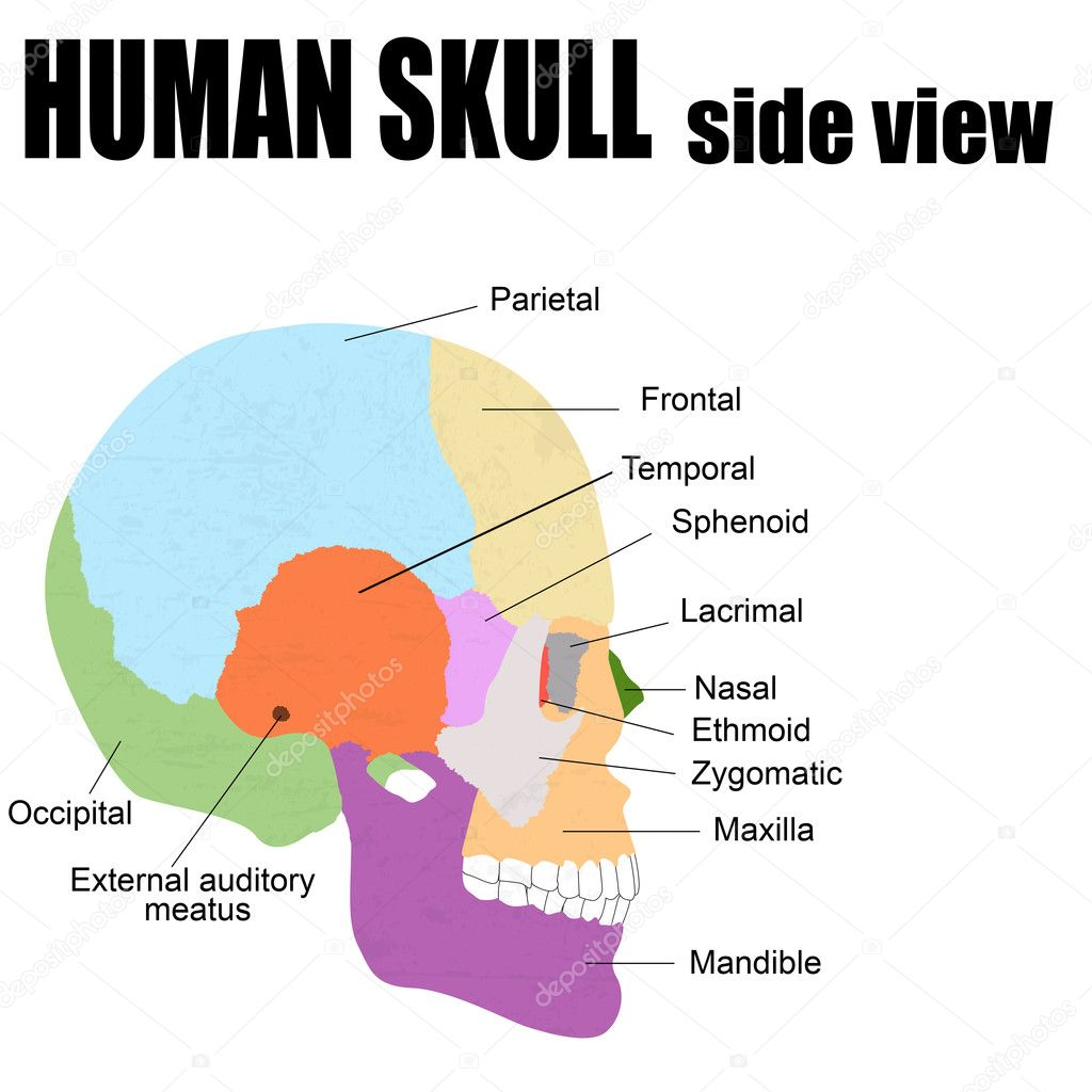 Skull Diagram Side View