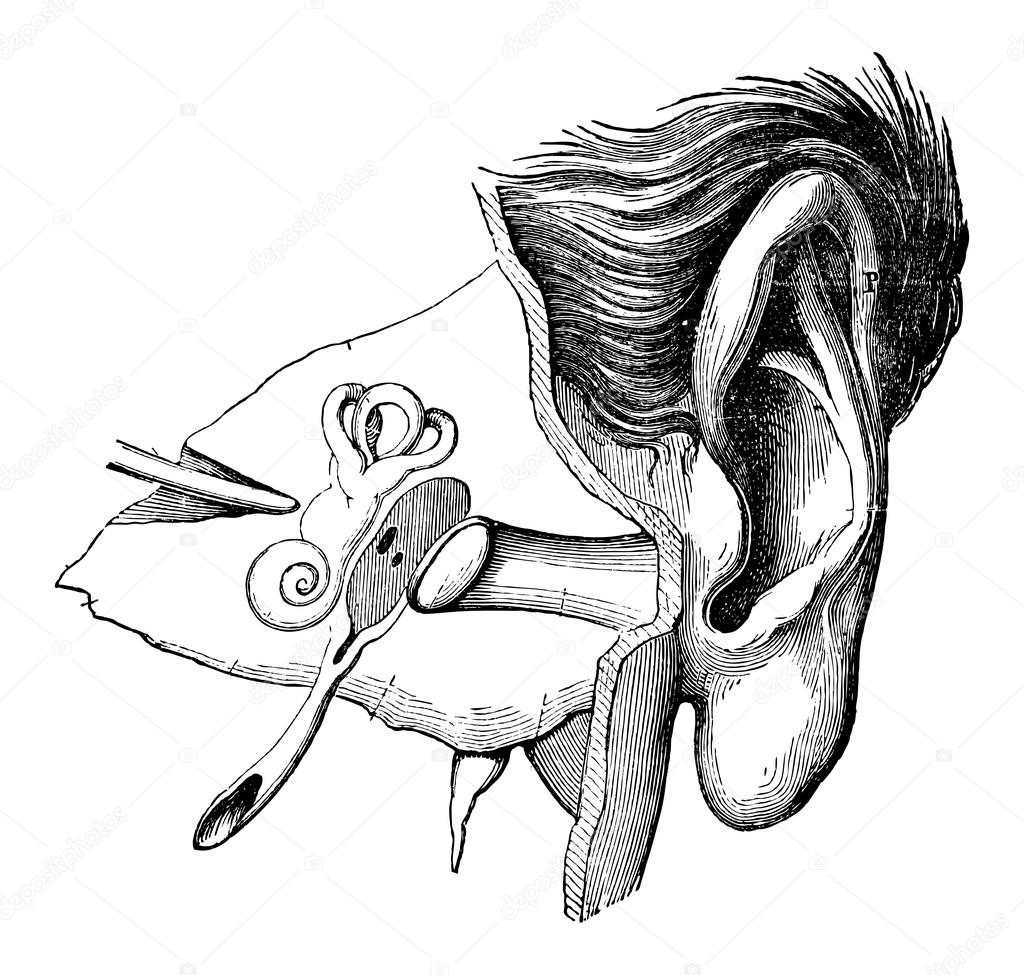 Parts Of The Human Ear Vintage Engraving