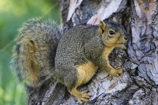 Risultati immagini per scoiattolo volpe