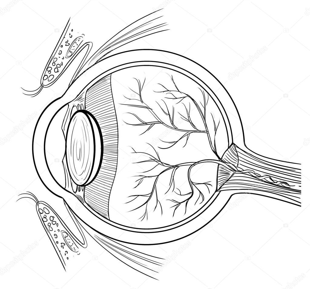 Anatomia Del Ojo Humano