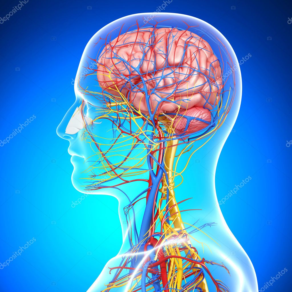 Side View Of Brain Circulatory System With Eyes Throat