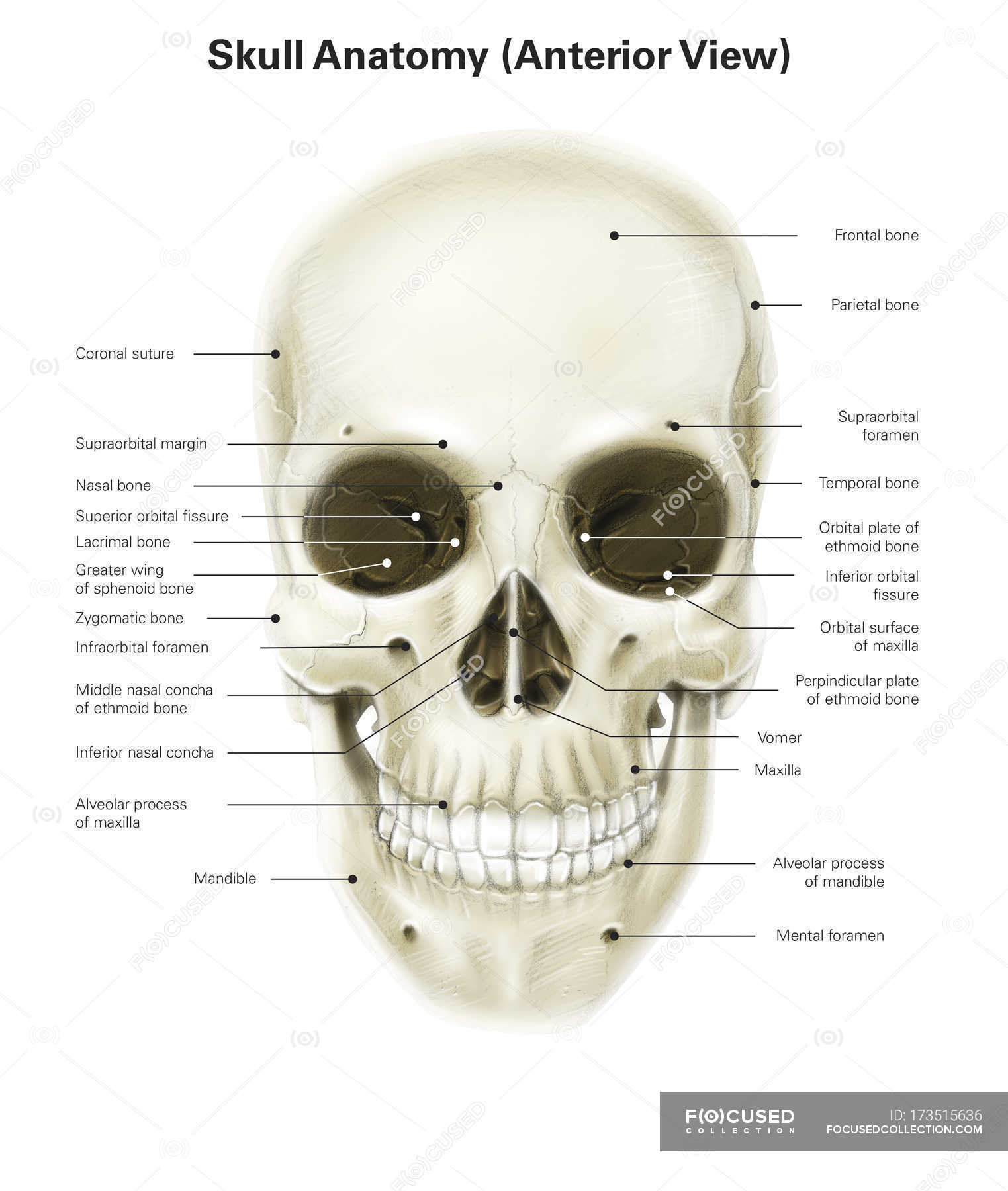Human Skull With Labels Bones Medical
