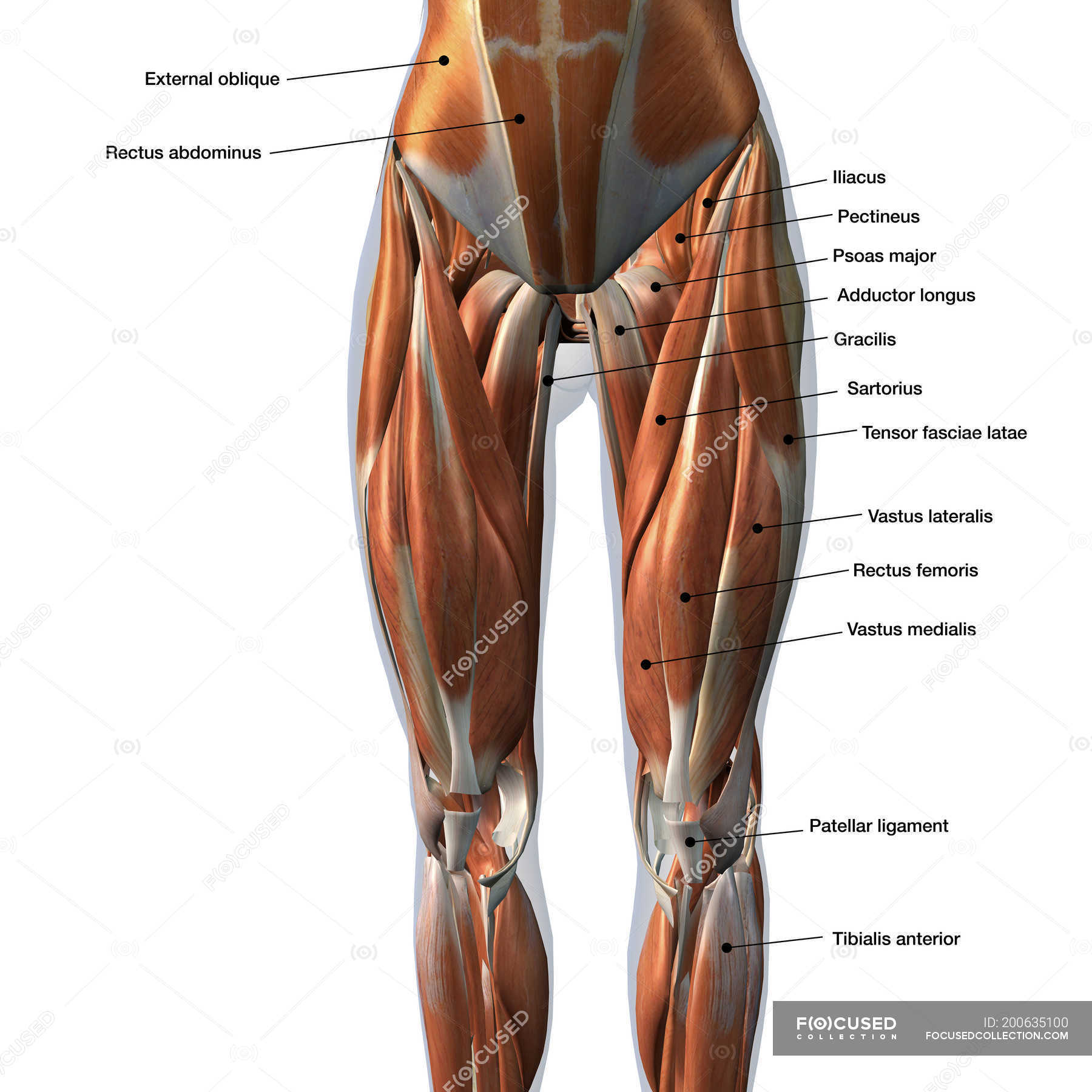 Female Front Leg Muscles With Labels On White Background Front View Three Dimensional