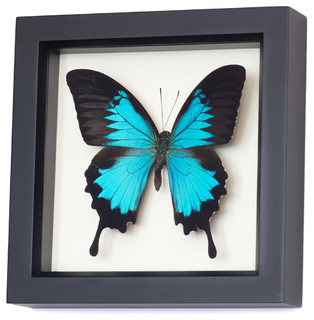 Real Blue Mountain Swallowtail Framed Butterfly contemporary-decorative-accents
