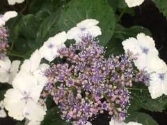 Hydrangea Has Lots Of Flower Buds But They Do Not Bloom