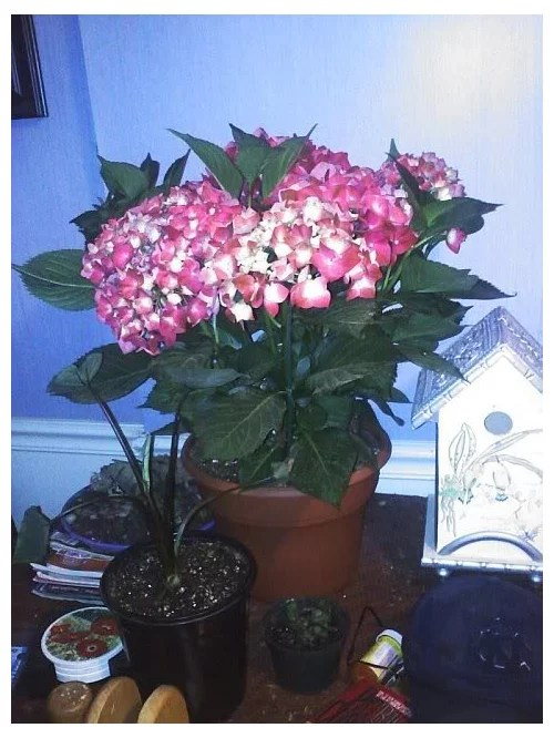 Hydrangea Id And Can I Plant It In The Ground In My Zone