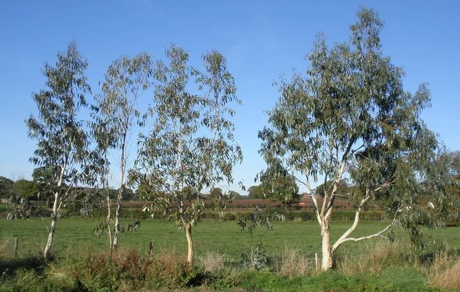 Five Eucalyptus Trees. Aged Nine. 2010.
