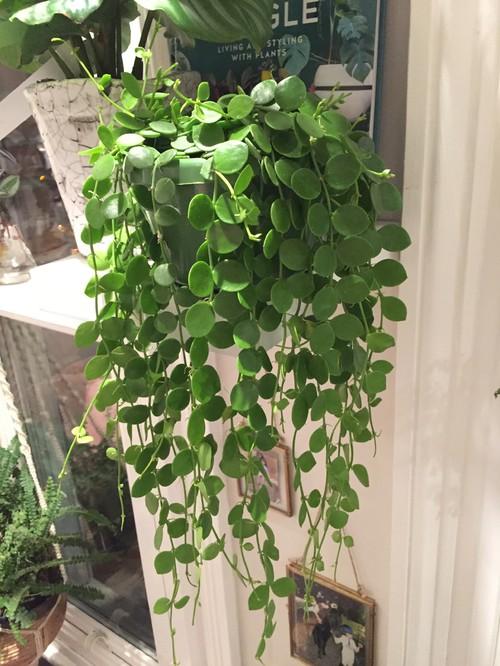 Indoor Hanging Plants Sale