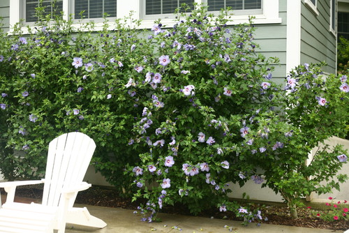 Azurri Blue Satin® Rose of Sharon (Hibiscus)